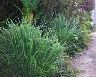 15 Lemongrass Seeds-1359