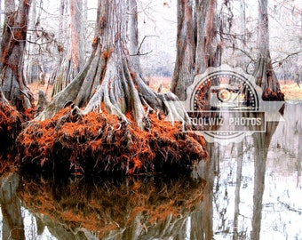 Louisiana Swamp photographs. Water Photography Print reflections 8x10 Trees Fall Bayou Swamp Lake Pictures Red Trees
