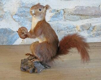 Taxidermy squirrel - French taxidermied red squirrel