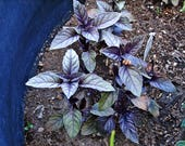 Dark Purple Opal Heirloom Basil Seeds Non-GMO Naturally Grown Open Pollinated Gardening