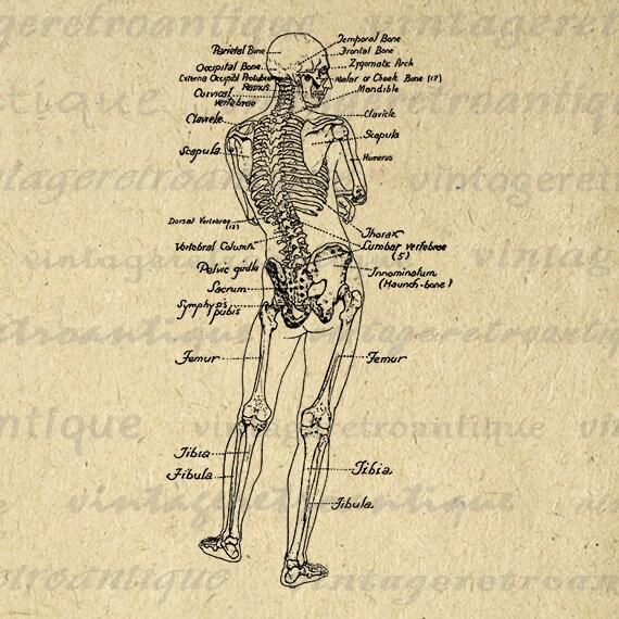 Printable Human Skeleton Diagram Graphic Download Image