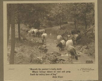 Grazing drinking cows antique art photo by Strohmeyer