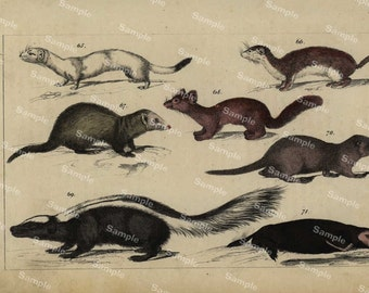 Animal Natural History original hand colored print of ferrets  over 150 years old Rare find