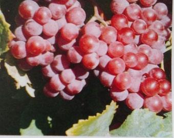 Reliance Seedless Grape Vine 2 Gal. Live Healthy Plant Grapes Plants Vineyards Garden Vineyard Grapes Vineyards Natural Antioxidants Gardens