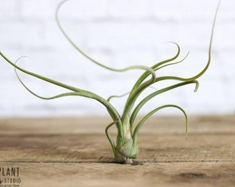 3 Psuedobaileyi Air Plants - FREE SHIPPING