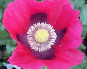 APO)~PINK IDA Poppy~Seeds!!~~~~Charming Heirloom!