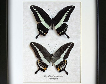 Beautiful Set Papilio Demolion Banded Swallowtail Real Butterflies In Museum Quality Display