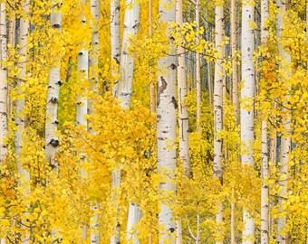 Sale** Quilting Landscape Fabric'**Golden Aspen Trees 491**fabulous Landscape Art Quilting Fabric.