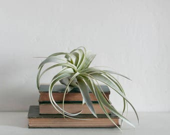 Large Xerographica Air Plant - Air Fern - Air Planter - Houseplant - Indoor Plants - Air Plant Gift - Minimalist Decor - Tillandsia Plant