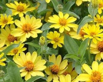 75 zinnia profusion yellow for garden seeds