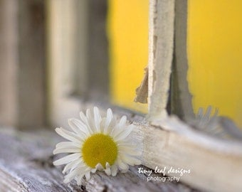 Daisy in the Sunlight by Window Original Photography