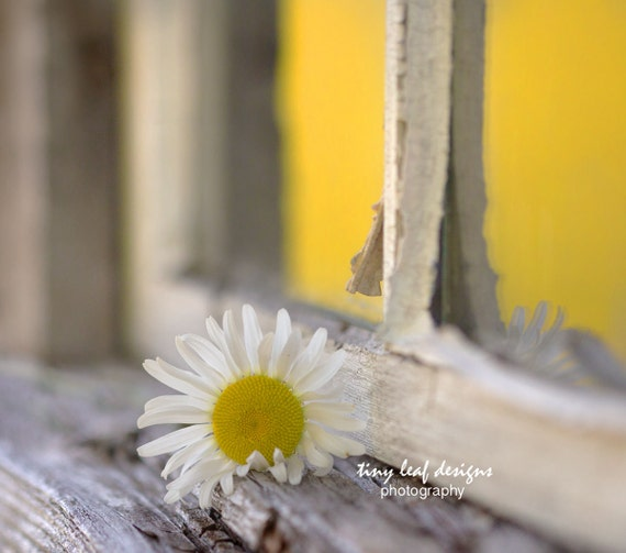 Daisy in the Sunlight by Window Original Photography 5x7 8x10 Print 11x14 Standout
