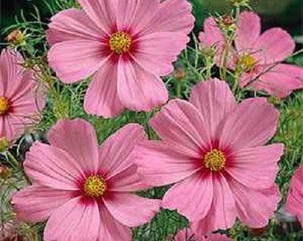 Cosmos Sensation Gloria Pink Flower Seeds / Annual / 35+