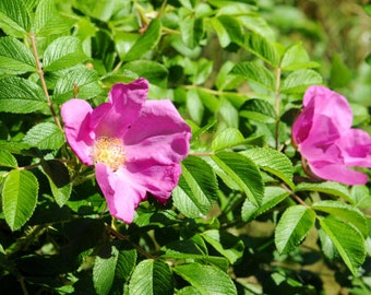 Rosa rugosa (Ramaras Rose) - 50 seeds. Vigorous Rose with unusual glossy, wrinkled leaves & fragrant single pink to purple-red flowers.