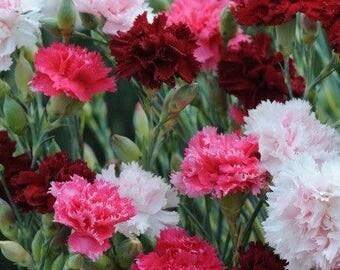 Dianthus Sonata Mix Flower Seeds (Dianthus Plumarius) 200+Seeds