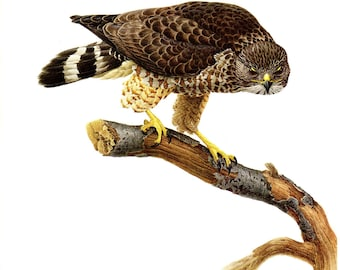 """Broad-winged Hawk painted by J F Landsdowne for the book Birds of the Eastern Forest:1. The page is approx. 9 1/2"""" wide and 13"""" tall."""