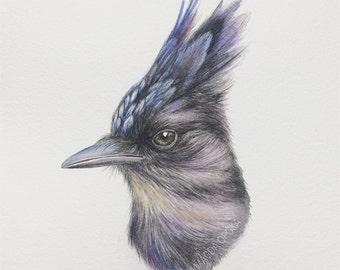 Steller's Jay Original Watercolor Painting | Scientific Illustration | Nature Art |  By: Magda Opoka