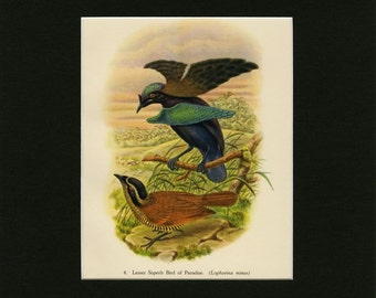 """MATTED Vintage Tropical Bird Print - """"Lesser Superb Bird Of Paradise"""" c. 1948 - John Gould Book Plate - Ready To Frame - 9x12 or 11x14"""