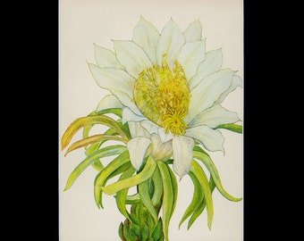 """MATTED Vintage Hawaiian Flower Print - """"Night-Blooming Cereus"""" c. 1938 - Botanical Book Plate - Cottage Decor - Matted Floral Print 11x14"""
