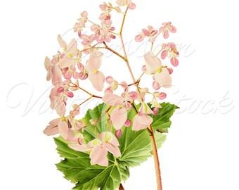 Botanical Print, Pink FLowers Print, Botanical Illustration, Floral Print Vintage Botanical Art Print, Flower Wall Art INSTANT DOWNLOAD 2505