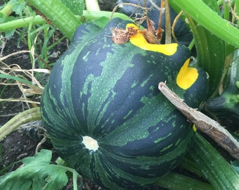 Acorn Squash Seeds - Grown Organically - Free Shipping