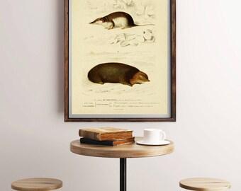 Mole Print, Mole Illustration, Animal Wall Art, Large Printable Poster, Vintage Zoological Print, Mole Painting, Sorex Print, Nursery Poster