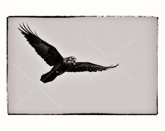 Photo Print Raven Wings Spread Flying in the Sky, Fine Art Archival Big Black Bird Photography Wall Art, Monochrome Grunge Nature Wall Art