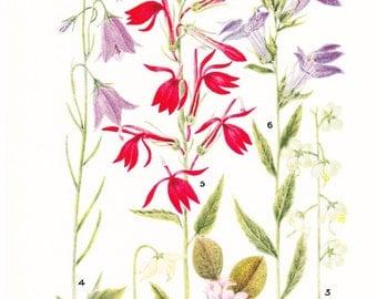 1930s Flower Print - Bellflowers - Vintage Home Decor Botany Art Illustration for Nature Science Woman Great for Framing