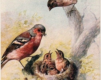 Antique Tuck Oilette Postcard - Chaffinches -- Artist Signed, Maude Scrivener (Unused)