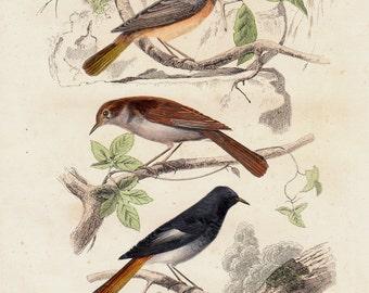 1839 Antique BIRD print of lovely songbirds species, Mockingbird,  scientific illustration, hand colored ornithology print