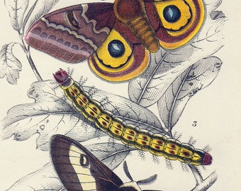 """1896 Antique Moth Print Vintage Insect Print Matted 8 X 10"""""""
