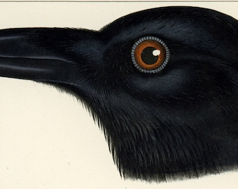 ANTIQUE Bird Lithograph, Hand-Colored, 1859 - Conservation Matting