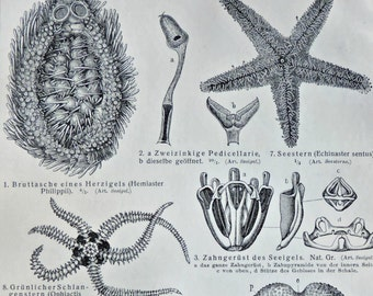 Echinoderms print. Sea Stars. Sea urchins. Old book plate, 1904. Antique  illustration. 113 years lithograph. 9'6 x 6'2 inches.
