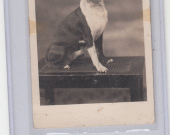 Boston Terriers Delight C 1910 Studio Photograph Antique Posstcard Great Dog Great Pose Must See