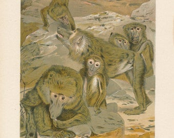 1902 Baboons Antique Print