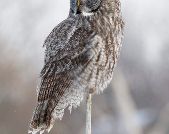 Great Gray Owl On a Stick (unframed matted print)