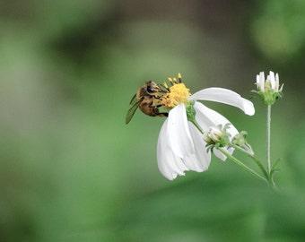 Bumblebee -- Wildlife Photography / Nature Photo / Fine Art Print / Animal Picture