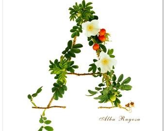 Rose Alphabet- A is for Alba Rosa Rugosa, Wall Art, Alphabet, Home Decor, Rose Letter, Rose Photography, Botanical Art,  Nursery Decor