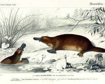 1861 Platypus, Orbigny Antique Print, Australian wildlife, Fauna of Tasmania, 19th century Zoology, French lithograph