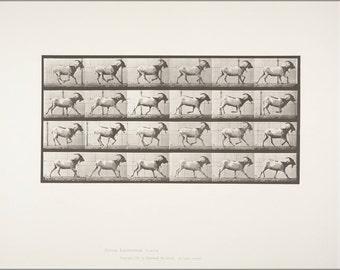 16x24 Poster; Goat Galloping (Rbm-Qp301M8-1887-679) #031715