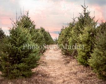 Christmas Tree Farm, Sunset, Evergreen Trees, Photography Backdrop, Photoshop Background, New England Tree Farm, Holiday Backdrop