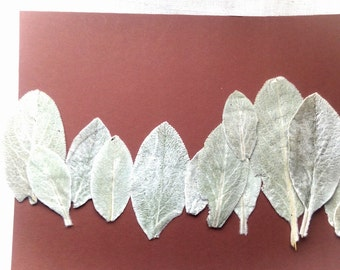 Pressed leaves for craft, bunny ears leaves, silver grey leaves, botanical supplies