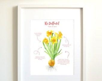 Daffodil | Watercolor flower | spring | March birthday | birthday gift | botanical illustration | flower illustration | Narcissus flower