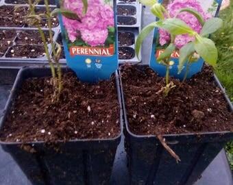 "5- Summer Phlox ""David's Lavender"" plants."