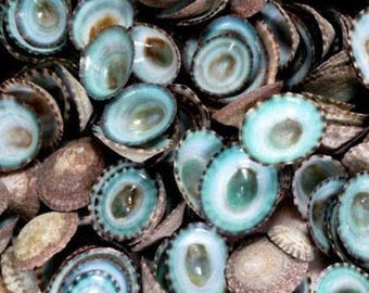 Green Blue Limpet Shells, bulk shells, beach decor, craft shells, shell jewelry, nautical decor, mosaic supply, terrarium supply, sea shells