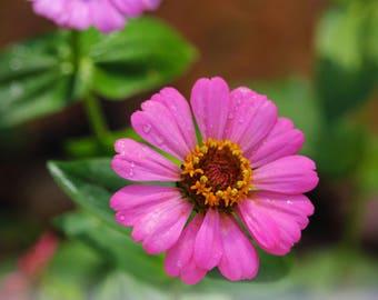 Pink Flower Photograph, Zinnia Photograph, Zinnia Art, Garden Photo, Zinnia Print, Zinnia Decor, Daisy Print, Summer Garden, FREE SHIPPING