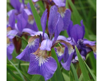 "Blue King Siberian Iris, Deep Purple Blue Flowers, 1 Potted Plant 4"" Pot, Perennial, Fragrant, Large Blooms, Garden, Landscape"