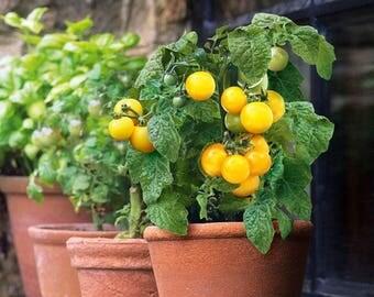 Dwarf Tomato YELLOW seeds/balcony pot tomato seeds/ 200mg/best before 2020