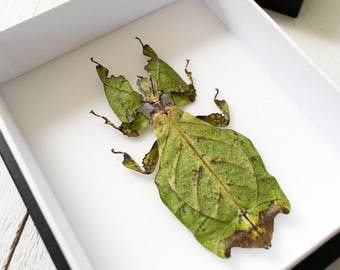 LARGEST Leaf insect Phyllium giganteum in museumbox / frame