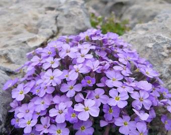 Rock Cress Cascading Purple (50+ Seeds)